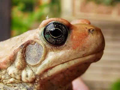 South African Toad